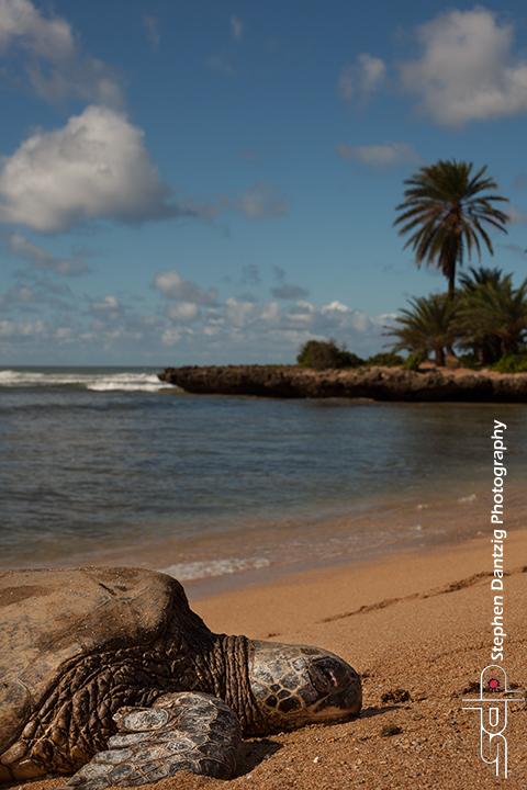 Honu with palms vertcal 10 72