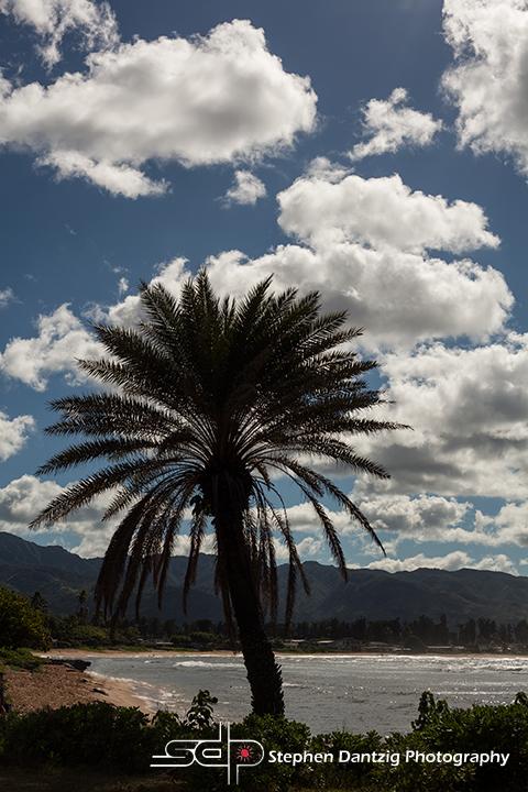 Haleiwa palm Vertical 10 72